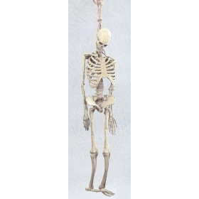Skeleton. Full Size Rubber (Halloween Decorations)
